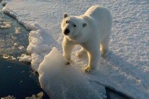 Jegesmedve_Steve-Morello-WWF-Canon-300x200.jpg