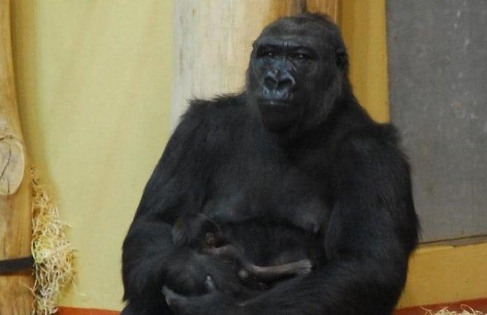 gorillakölyök született