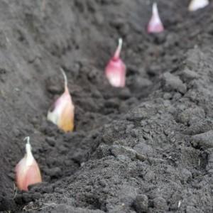 Когда собирать бульбочки чеснока на семена. Хранение, посев и уход