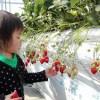 須賀農園 イチゴ狩り3