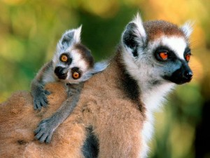Baby Lemur and Mother Photo