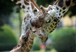 Baby Giraffe Picture being snuggled by his parents