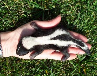 Cute baby skunk picture