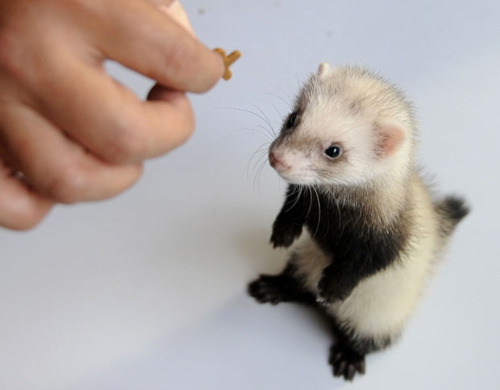 cute-baby-ferret_picture