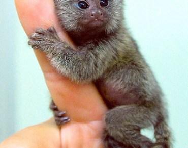 Marmoste Monkey