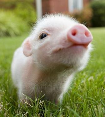 https://i2.wp.com/babyanimalzoo.com/wp-content/uploads/2011/12/cute-baby-piglet.jpg