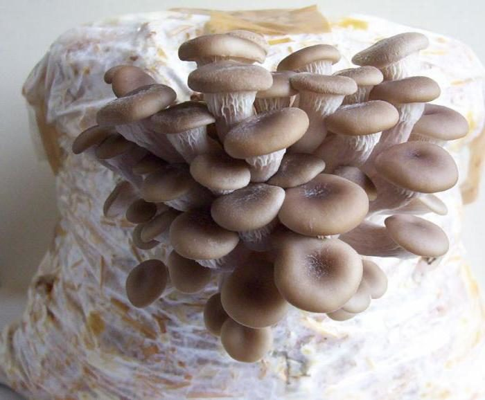 laskagomba micélium)