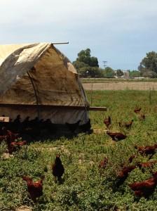 chickens at suzie's farm