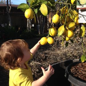 baby bird picking meyer lemons
