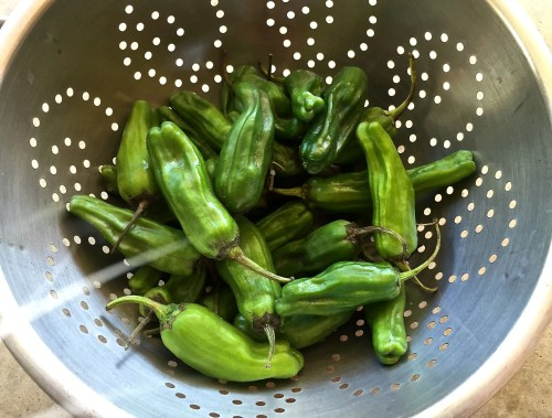 Fresh Shishito Peppers are in Season