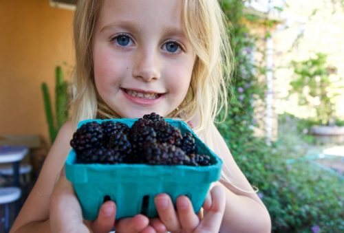 Fresh blackberries for pie