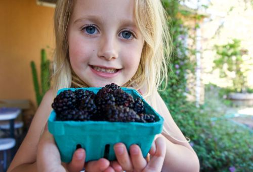 Fresh blackberries for pie