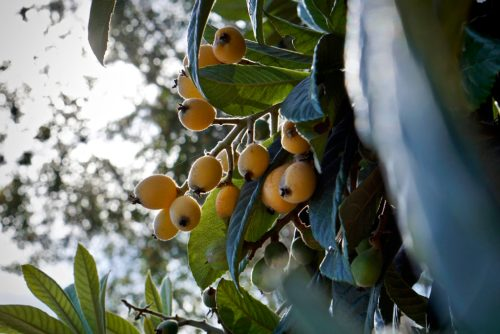 loquats on the tree, ready for this sorbet recipe