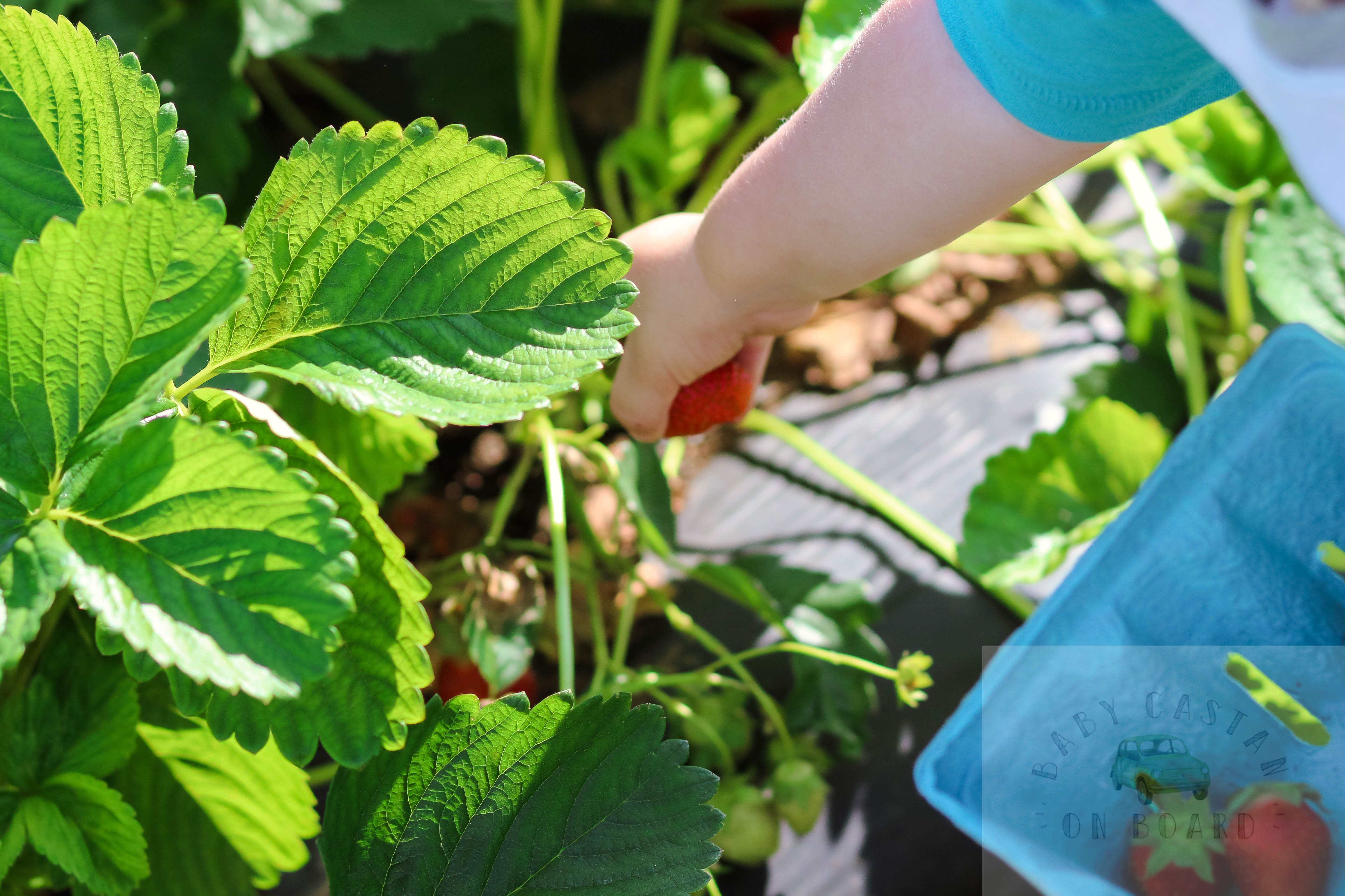 Strawberry picking with toddlers by popular DC mommy blogger Baby Castan on Board