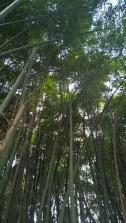 Bosco di bambù giganti
