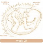 Baby Development In Womb:  25 Weeks Pregnant 1