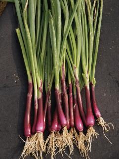 Semences de légumes racines