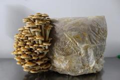 Bloc de mycélium des 400 pieds de champignons