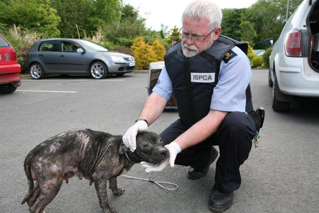 ISPCA Inspector Brendan Hughes with pitbull terrier upon arrival at centre