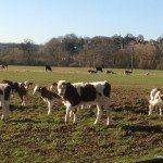 More Calves