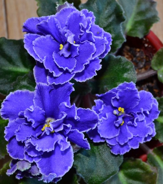 Blueberry Mint Standard African Violet Flowers  Beautiful       Baby     These violet flower are from the plant Blueberry Mint  The plant is  standard in size