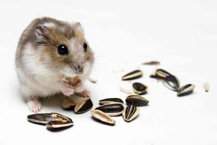 10 Daftar Makanan Yang Bagus Dan Menyehatkan Untuk Hamster