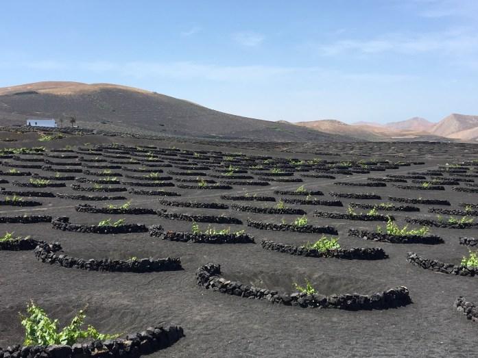 Vines Growing in Lanzarote