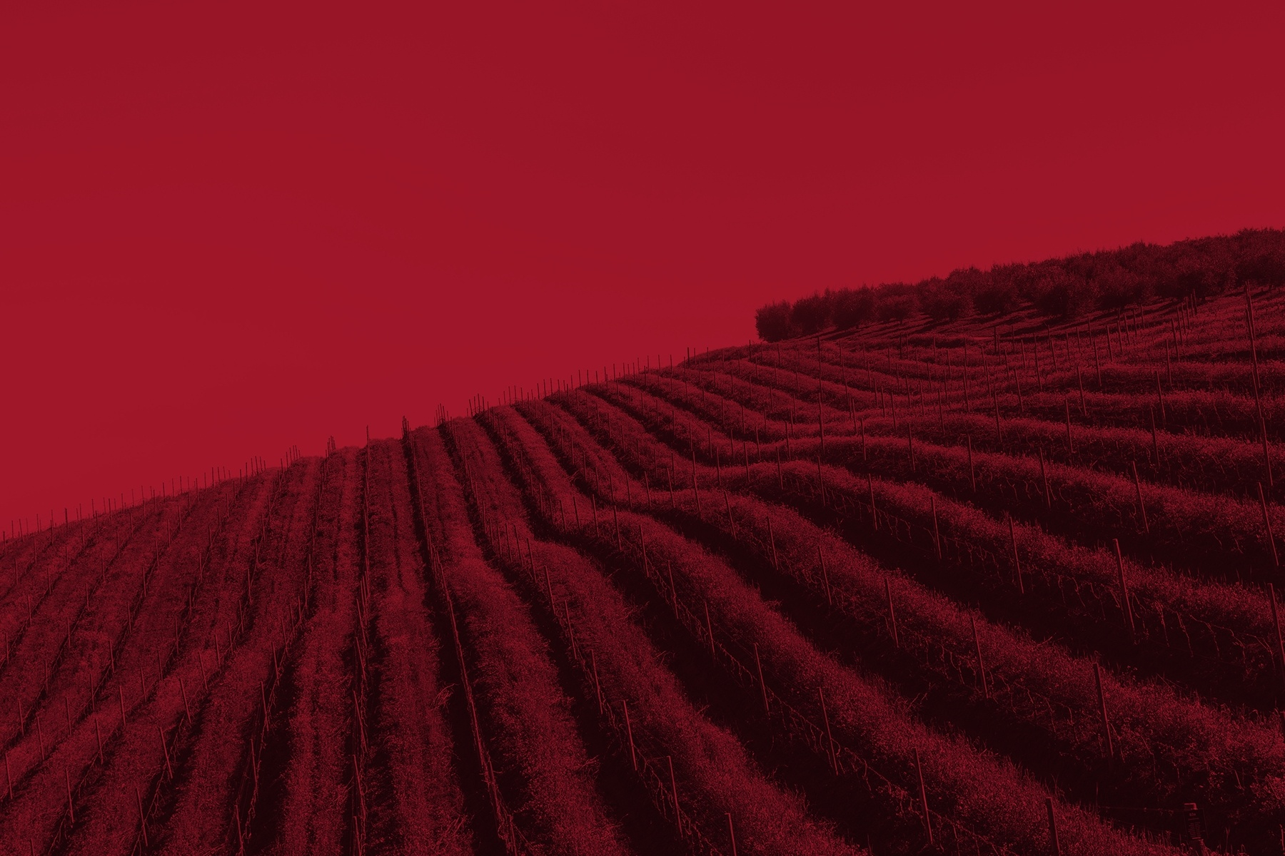 rows of grape vines on a rolling hillside with red image overlay