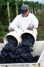 Harvesting Pinot Noir Grapes