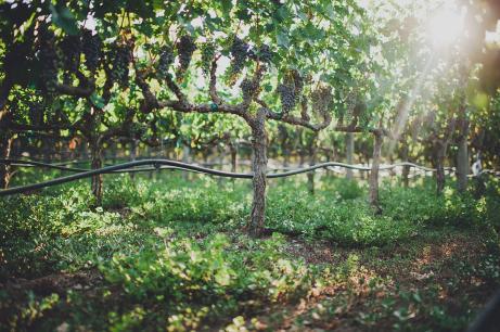 Madrigal-Vineyards-226