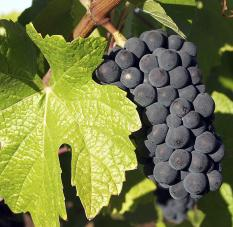 pinot noir grape bunch