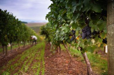 dobbes-vineyard2