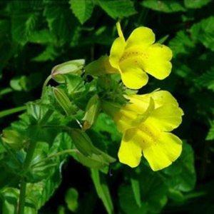 Gauklerblume, Bachblüte Nr. 20