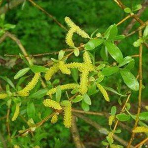 Willow original englische BIO Bachblüten Tropfen Nr. 38