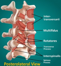 Deep intrinsic lumbar muscles