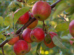 Подкрепете засаждането на 100 плодни дръвчета следващата пролет @ Eленски Балкан