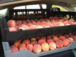 60 lbs of peaches in the car on the way back to MN