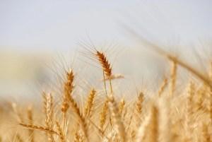 Weizen (Mehle zum Brotbacken)