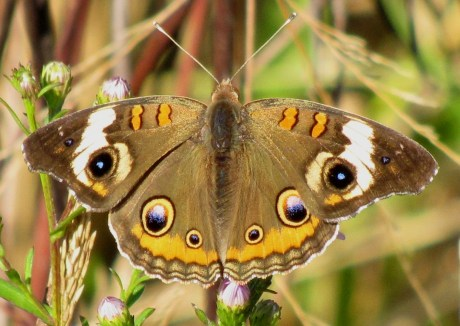 Back Bay NWR, Butterfly, Common Buckeye, photo