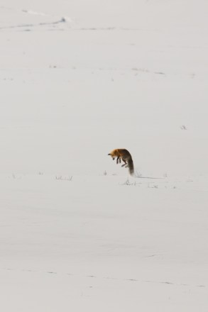 Mousing Snow Fox