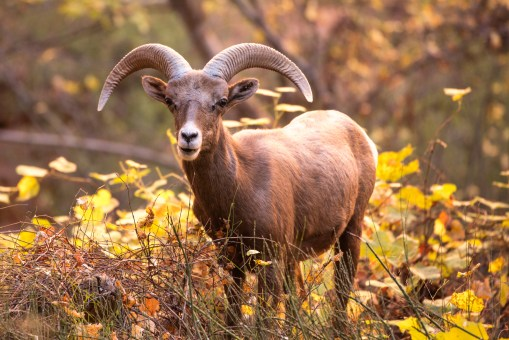 Bighorn of the Canyon