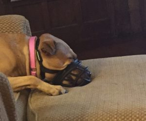 Muzzle dog training