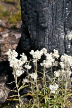 charred stump and wildflowers