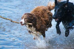 Chiens en course dans l'eau