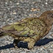 kia-bird