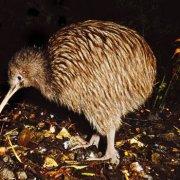kiwi-bird New Zealand