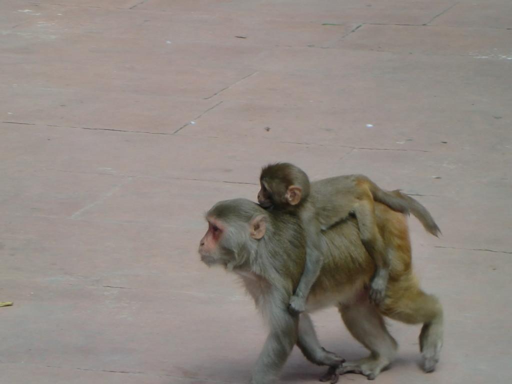 アーグラの親子猿