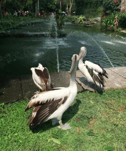 ラグナン動物園 ペリカン