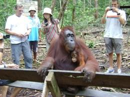 Bornean Orangutans at Tanjung Puting