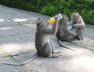 Girls Who Travel | A monkey drinks a glass of juice while two other gray monkeys play in the background